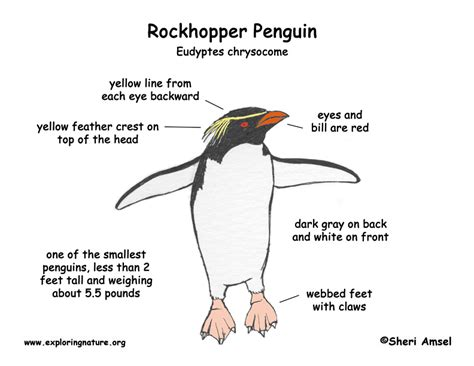 adelie penguin diagram penguin rockhopper