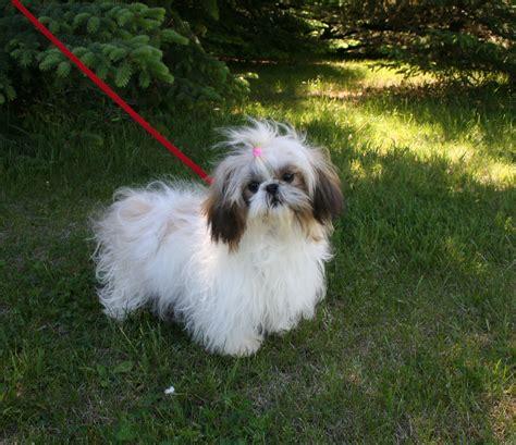 shih tzu needs shih tzu puppies for sale nebraska shih tzu breeders sandhills puppy paws