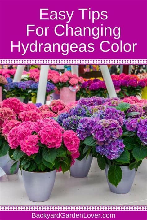 chagne pink color how to change hydrangea colors pink blue purple