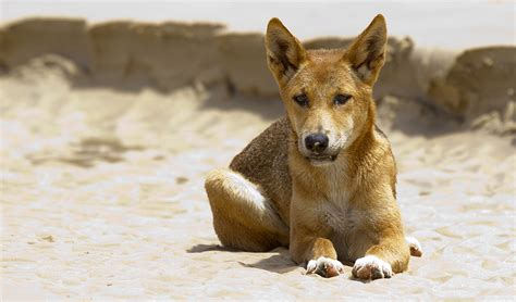 dingo dogs dingo declared a separate species australian geographic