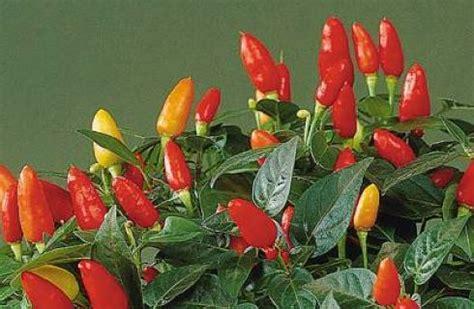 piante di peperoncino in vaso coltivare peperoncino in vaso la semina la potatura e l