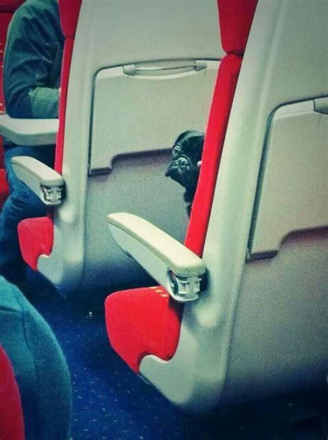 pugs on planes pugs on a plane jen bingham