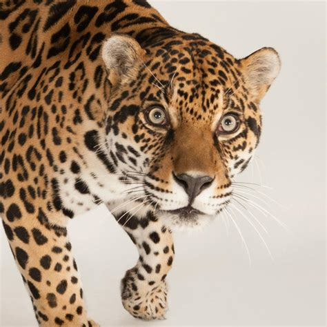 what does a jaguar eat jaguar national geographic