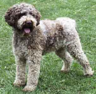 lagotto romagnolo puppies for sale 301 moved permanently