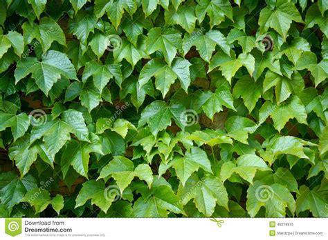 houseplant vine english ivy is a clinging evergreen vine plant stock photo