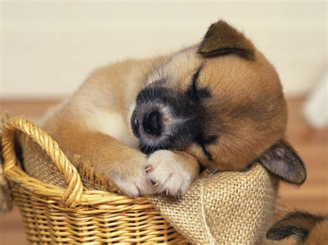 adorable puppy puppy wallpaper for your computer desktop free wallpapers