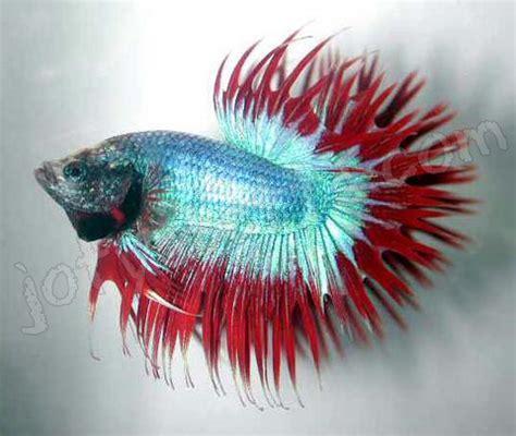 Pakan Ikan Cupang Serit tips memelihara ikan cupang hias dan aduan noretz area