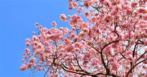 cherry tree pruning pruning flowering cherry trees ehow uk