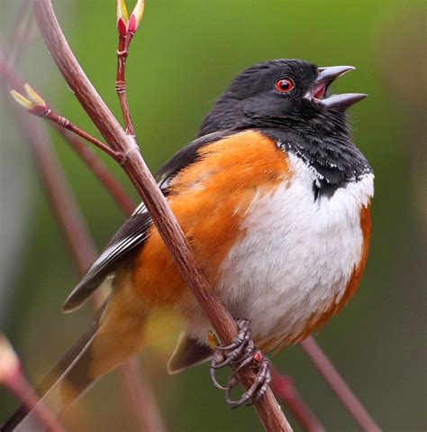 a year of being here barbara crooker quot rufous sided towhee quot
