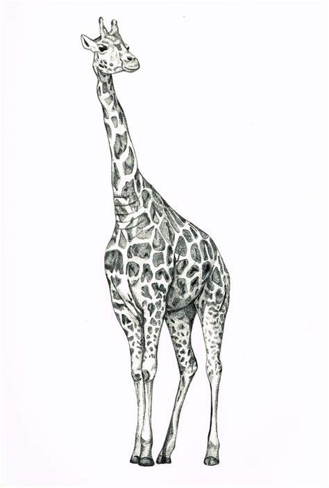 drawings of a giraffe best 25 giraffe drawing ideas on
