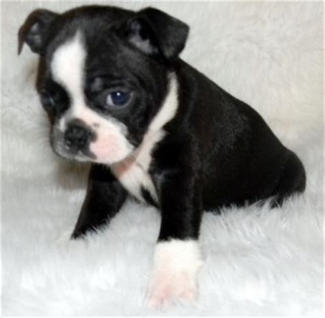 boston terrier puppies craigslist boston terrier craigslist kansas free photo breeds picture