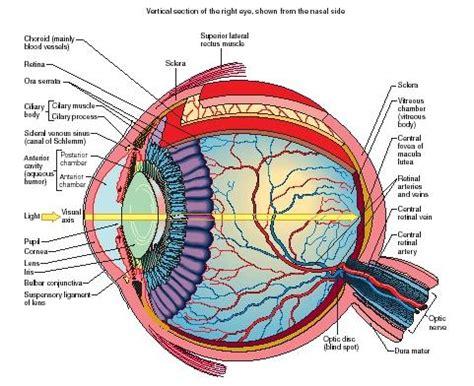 diagram mata eye humans water chemical energy animals
