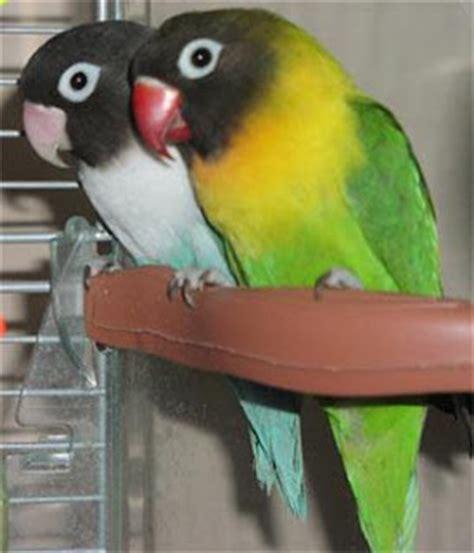 Jual Pakan Burung Lb tips membuat burung lovebird gacor kicauku