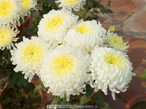 mums flower chrysanthemum flower