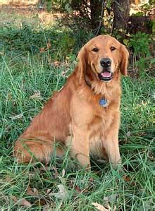 golden retriever rescue northern california rescue golden retrievers northern california dogs our friends photo