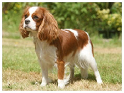 havanese vs cavalier king charles spaniel all breeds check our complete list of breeds from a to z