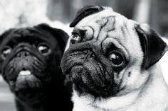 pug yin yang pugs on pugs pug and baby pugs