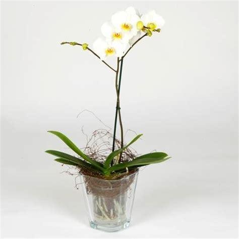 orchidea vaso trasparente coltivare le orchidee in vaso cura orchidee coltivare