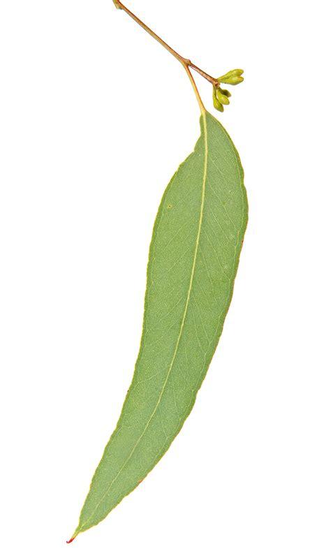 printable gum leaves file apple box leaf and flowerbuds jpg wikimedia commons