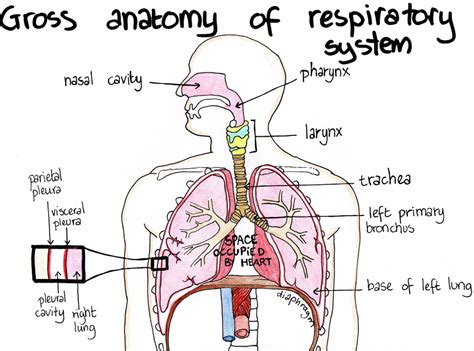 Diagram Respiratory Tract Of Earthworm Human Anatomy Picture The Anatomy Of The Respiratory System Human Anatomy Diagram