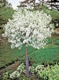 Gardeners Supply Lollipop Tree Lollipop Crabapple Tree 10x10 Garden Ideas