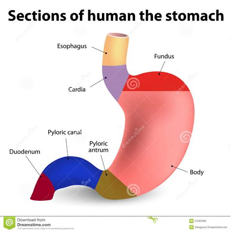 sections of the abdomen gastroesophageal reflux pictures posters news and