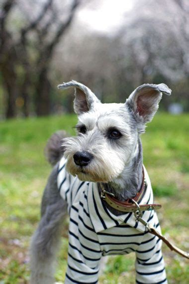 different haircuts for a miniature schnauzer 17 best ideas about schnauzer grooming on pinterest dog