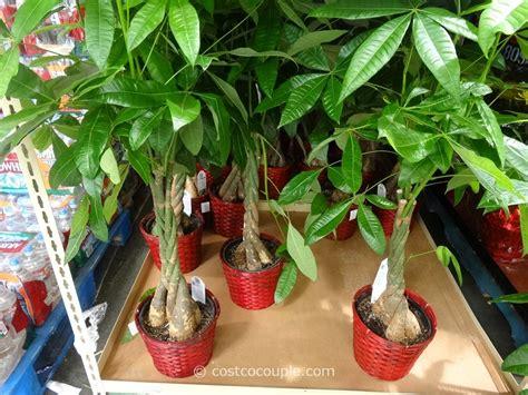 money plant for new year pachira braid money tree