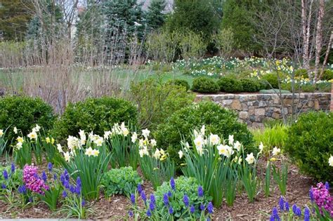 spring flowering bulbs in shrub border traditional landscape newark by statile todd