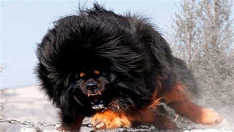 fotos super dotados perros peligrosos ranking m 225 s agresivos del mundo