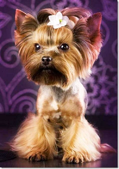 tea cup yorkie hair cuts yorkie haircuts yorkshire terrier cuts and hairstyles