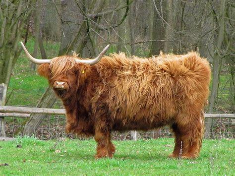 scotland has a bad day bad hair day scottish highland cattle at schoenbusch