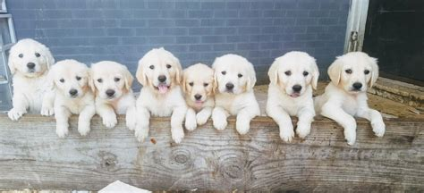 hoobly golden retriever adorable akc white golden retriever pups in hoobly classifieds