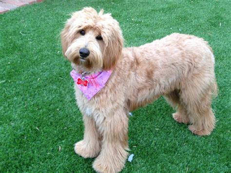 beard optionms for poodles grooming needs of the australian labradoodle bbird s