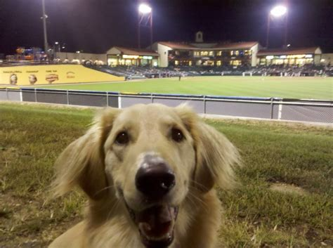 golden retriever baseball n tiny for all things and tiny page 5
