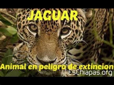 imagenes de jaguar en peligro de extincion jaguar animal en peligro de extinci 243 n youtube
