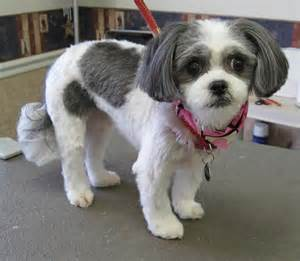 pictures of shih tzu haircuts g27 19482531 large jpg 1280 215 1116 shih tzu haircuts