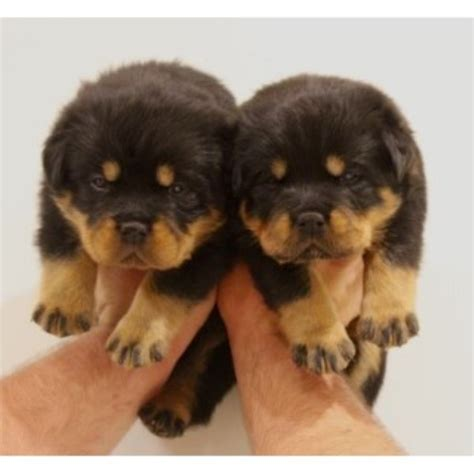 adopt rottweiler puppies rottweiler puppies and dogs for sale and adoption freedoglistings page 2