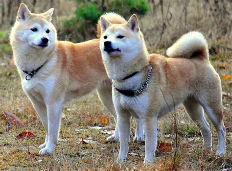 sporting breeds non sporting shiba inu breeds picture