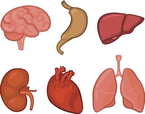 imagenes de corazones organo no todos los 243 rganos envejecen igual