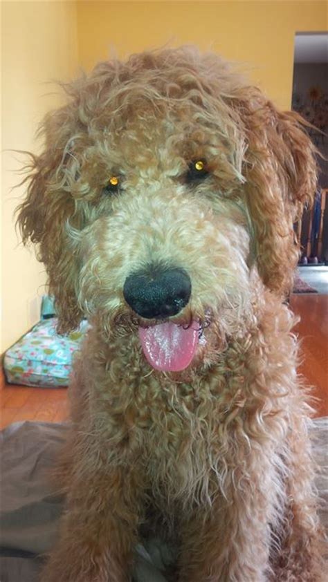 goldendoodle puppy growing 17 best images about goldendoodles on