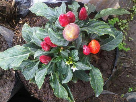 Tanaman Hias Cabe Rainbow Cabe Pelangi tanaman cabe pelangi sudah berbuah bibitbunga