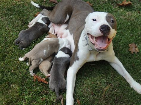 nose american pitbull terrier puppies for sale blue nose american pitbull terrier for sale 1001doggy