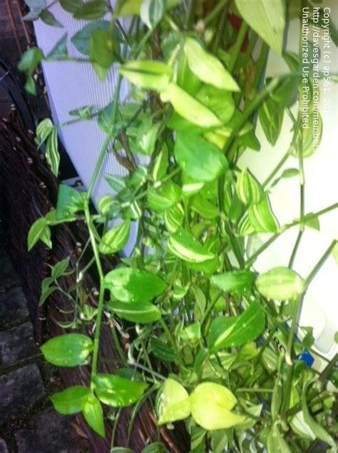 vine house plants plant identification closed flowing vines houseplant