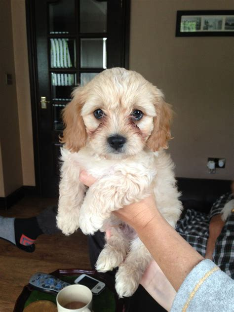 cavachon puppies for sale in ohio cavachon puppies for sale 163 375 posted 29 days ago for sale dogs images frompo