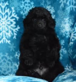 bulldog puppies cincinnati poodle puppies cincinnati photo