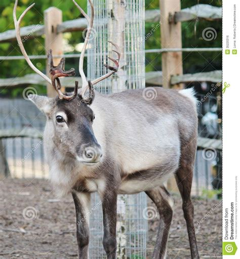 how to get raindear anters white reindeer royalty free stock image image 35220316