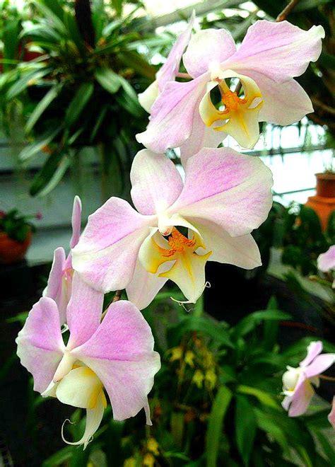 garden orchids and roses auf pinterest orchideen dfte 67 besten phalaenopsis bilder auf pinterest blumen