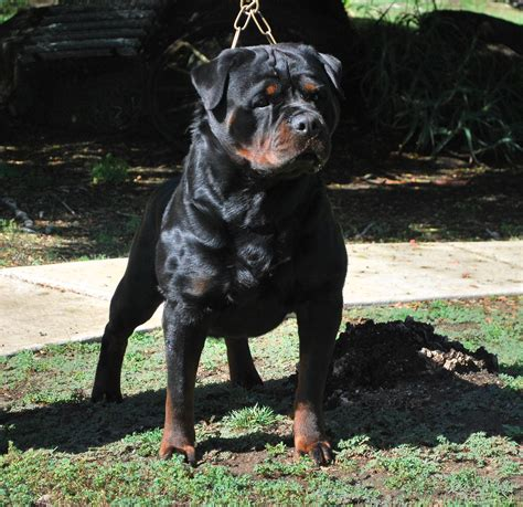 how do you a rottweiler talking with ruelmann rottweilers about