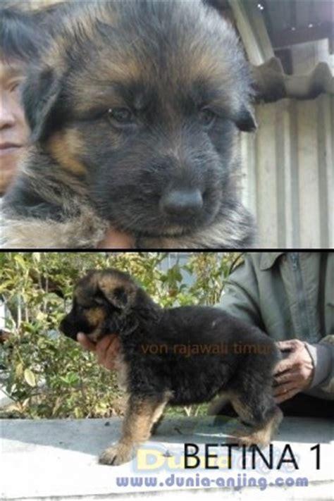 Anak Anjing Herder dunia anjing jual anjing german shepherd herder anak import